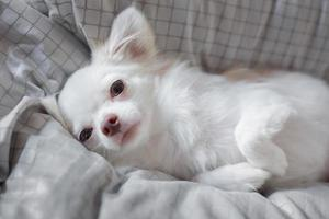 chihuahua blanc photo