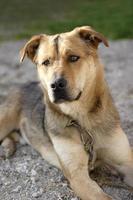chien de berger allemand attentif photo