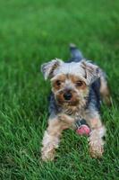 yorkie terrier dans l'herbe