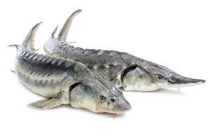 poisson d'esturgeon photo