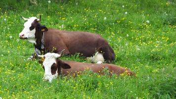 belles vaches avec cloches à vache photo