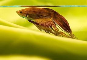pez de agua dulce en fondo verde - poisson