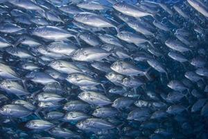 troupeau de poissons jack