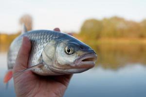 chevesne dans la main du pêcheur photo