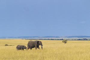 éléphant d'Afrique avec veau