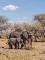 Éléphants d'Afrique dans le parc national de Tarangire, Tanzanie photo