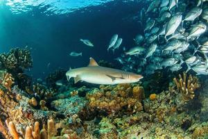 requin pointes blanches photo
