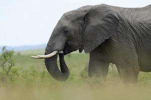 éléphant d'Afrique (loxodonta africana) photo