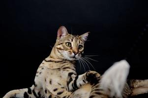 chat du Bengale devant un fond noir photo