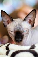chat sphynx photo