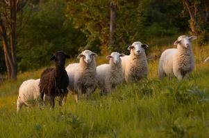 des moutons photo