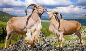 moutons barbares sur rocher dans la nature photo