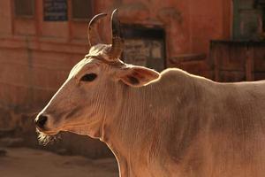 vache indienne photo
