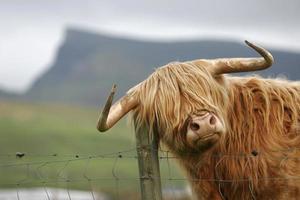 vache des montagnes