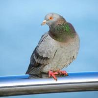 Pigeon photo