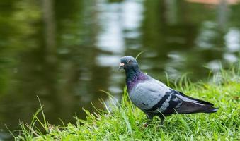 portrait de pigeon biset photo