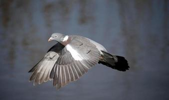 pigeon ramier, columba palumbus photo