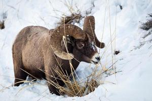 bighorn ram photo