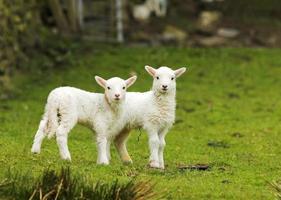 deux agneaux photo