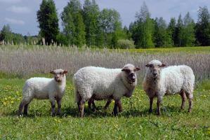 moutons dans un champ photo