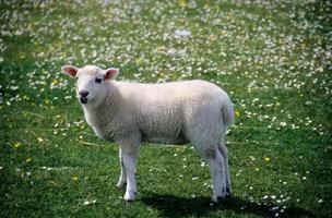 agneau photo