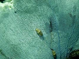 flamant mollusque langue sur un ventilateur de mer de Vénus. photo