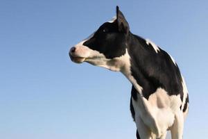 vache latérale