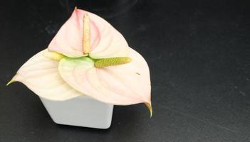 Flamingo Lily Thaïlande, fond de texture bois noir, espace pour le texte
