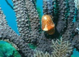 escargot langue flamant rose sur corail photo