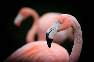 portrait de profil flamant rose