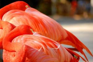 flamant rose au repos