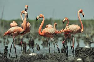grand flamant rose (Phoenicopterus ruber)