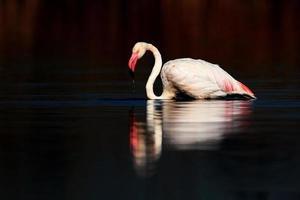 flamant rose dans les eaux sombres
