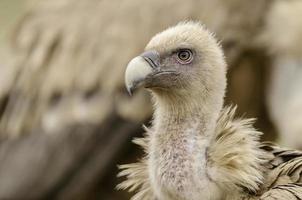 gros plan d'une tête de vautour. photo