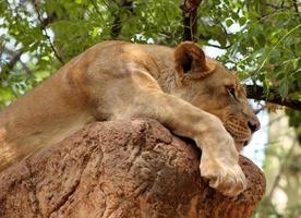 sieste de lion photo
