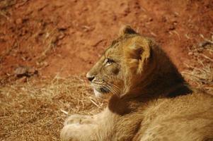 lionceau photo
