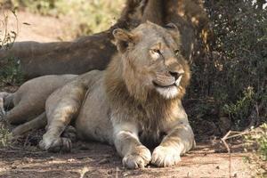 lions paresseux photo