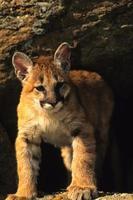 chaton lion de montagne photo