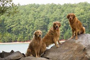 trois golden retrievers au bord du lac photo