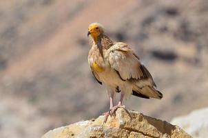 Les vautours égyptiens (Neophron percnopterus) sont assis sur les rochers photo