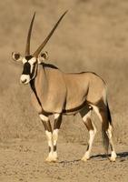 antilope gemsbok