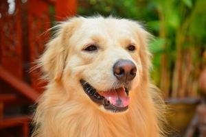 chien golden retriever visage mignon photo