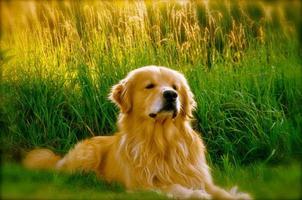 chien heureux golden retriever