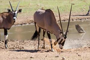 Oryx assoiffé d'eau potable à l'étang dans le désert chaud et sec photo