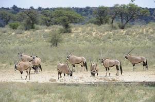 gemsbok au point d'eau