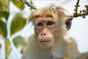 tuque macaque photo