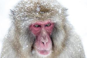 singe des neiges photo