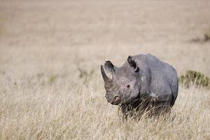 rhinocéros noir photo