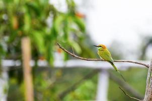 petit oiseau mangeur d'abeilles vertes photo