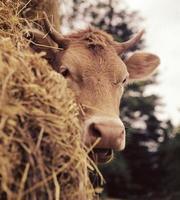 tête de vache avec de la paille photo